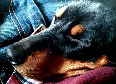 """Hund som husdjur ger oss den närhetmed beröring som vi behöver för att""""lu..."""