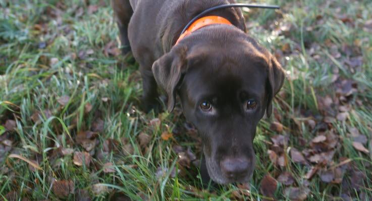 Årets Bragdhund Hilda har hittat inte mindre än tolv bortsprungna hundar.