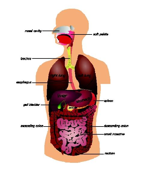 organens placering i kroppen