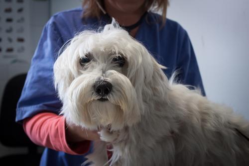 Det är inte helt ovanligt att hundar lider av kronisk tarminflammation vilket i sin tur kan leda till vitamin B-12 brist.