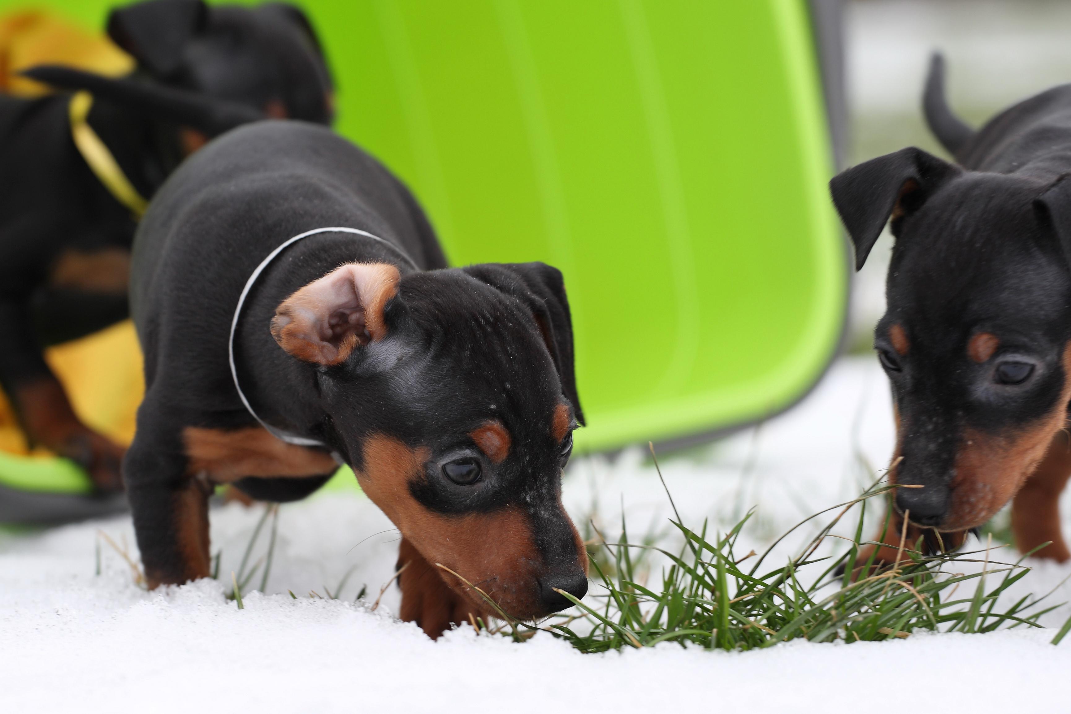 I Sverige beräknas 78 000 hundar ha allergi vilket innebär livslång behandling.