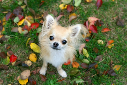 Mindre hundar behöver mindre mängd ekollon för att riskera förgiftning.