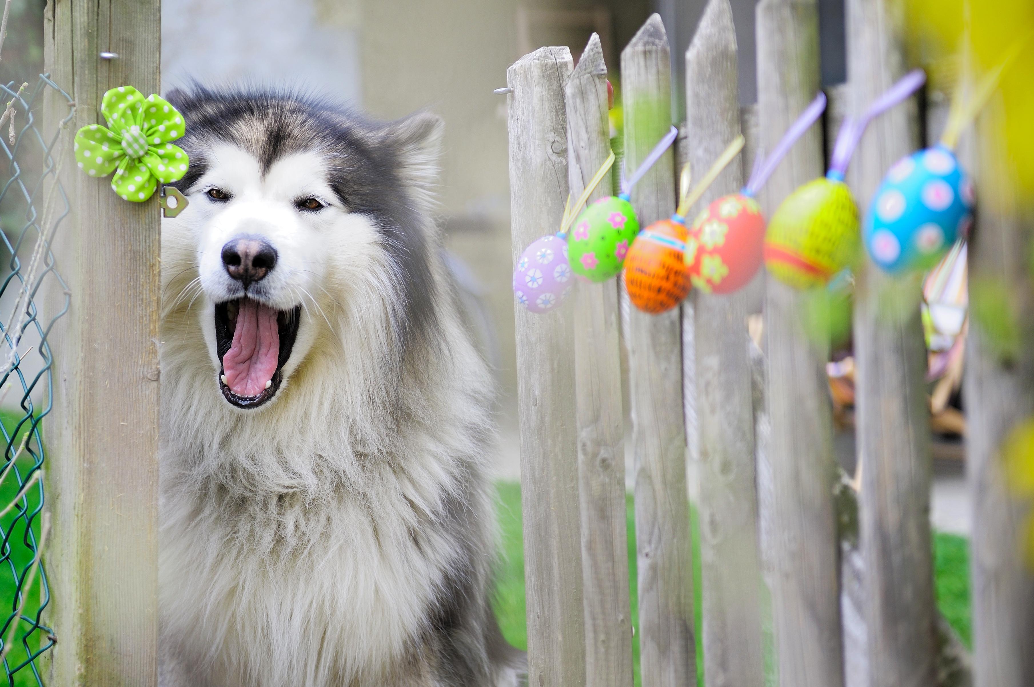 En extra promenad till påsk ger bättre hälsa än människogodis. Särskilt choklad kan vara livsfarligt för hunden.