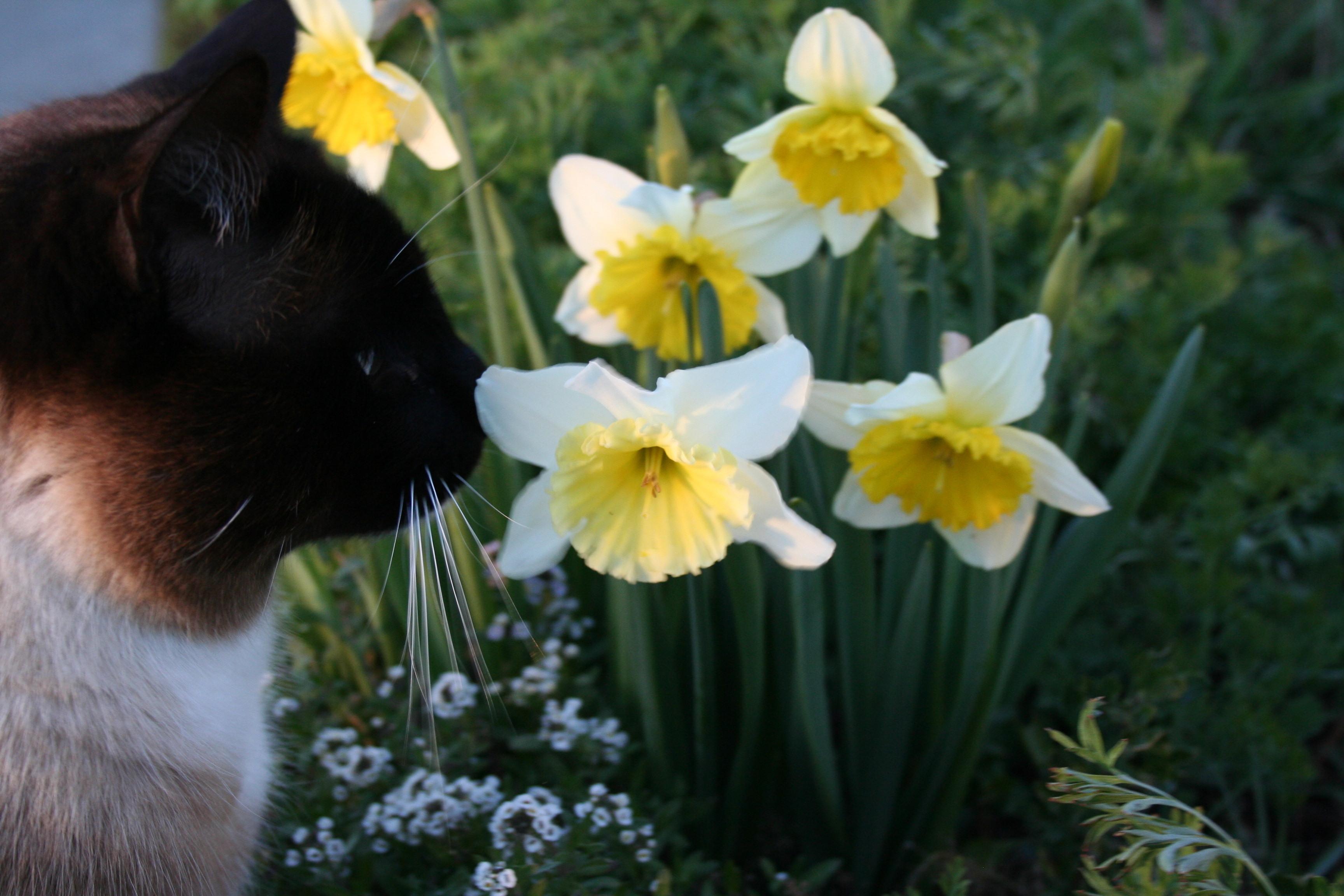 Den omåttligt populära påskliljan kan ge din katt livshotande skador.