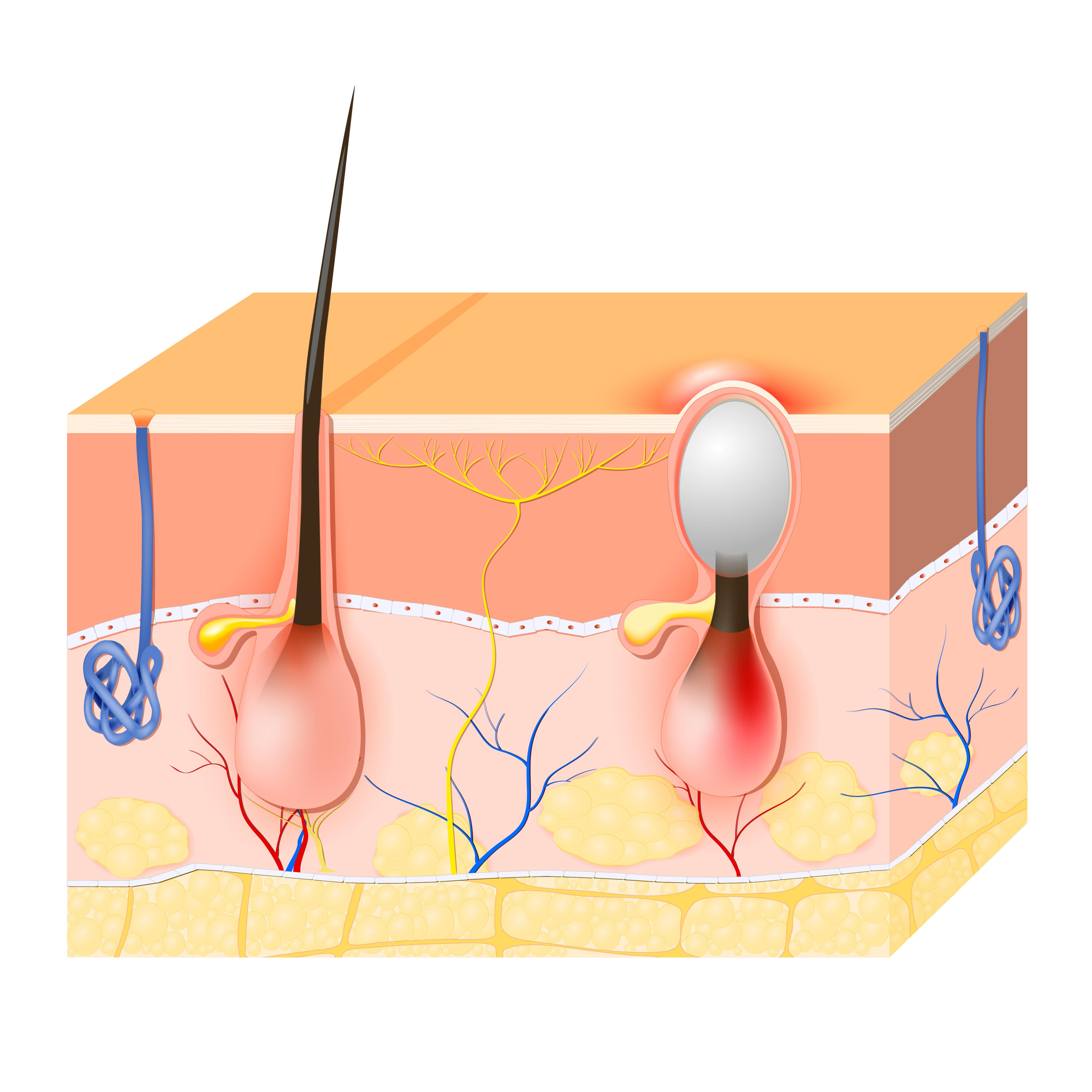 Vid varje hårstrå i själva hårsäcken sitter en talgkörtel som är mycket olika utvecklad på olika delar av kroppen.