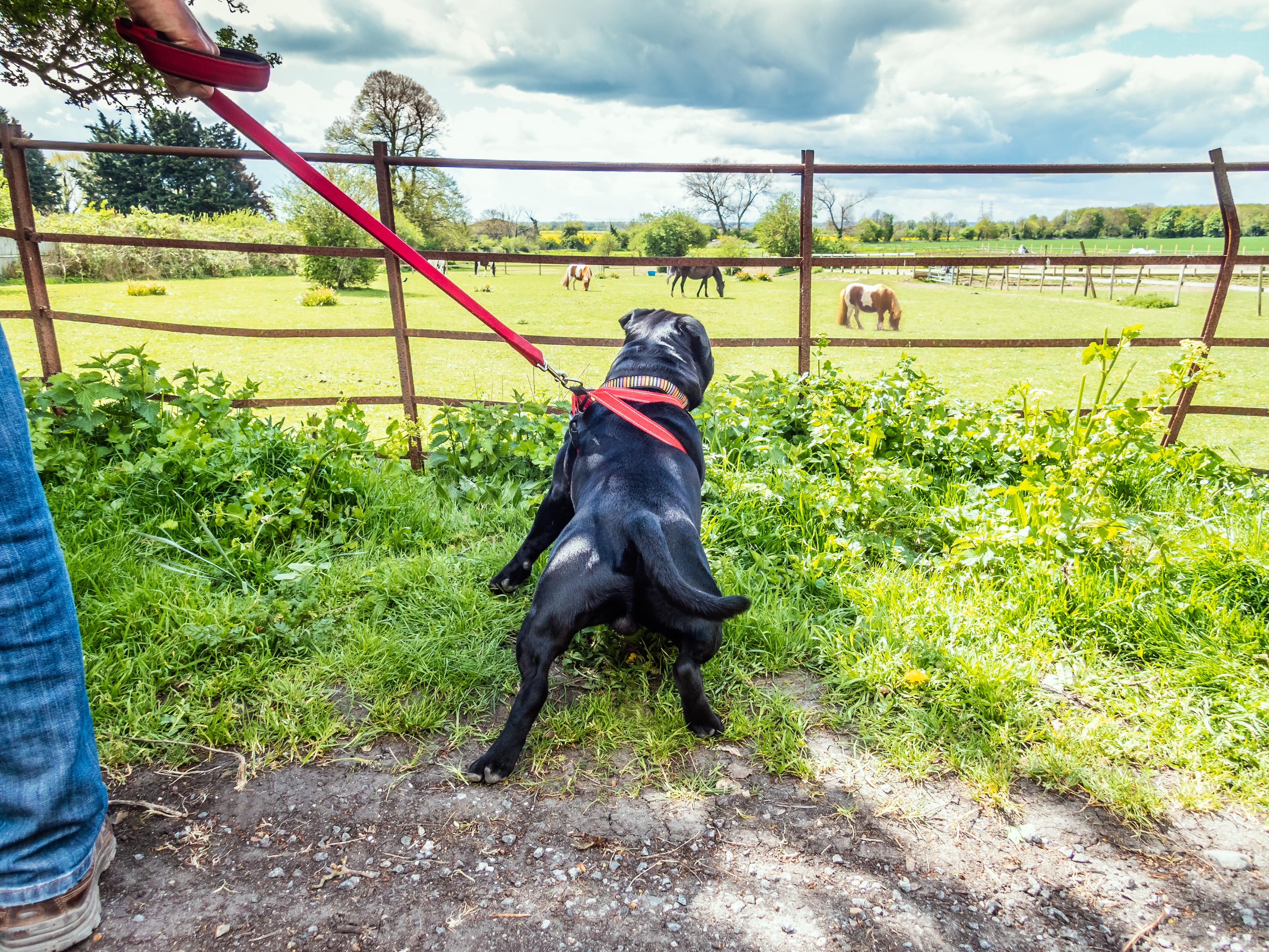 Om hunden springer eller rör sig i ett område med mycket brännässlor kan hunden riskera att bränna sig, särskilt på utsatta områden av kroppen.