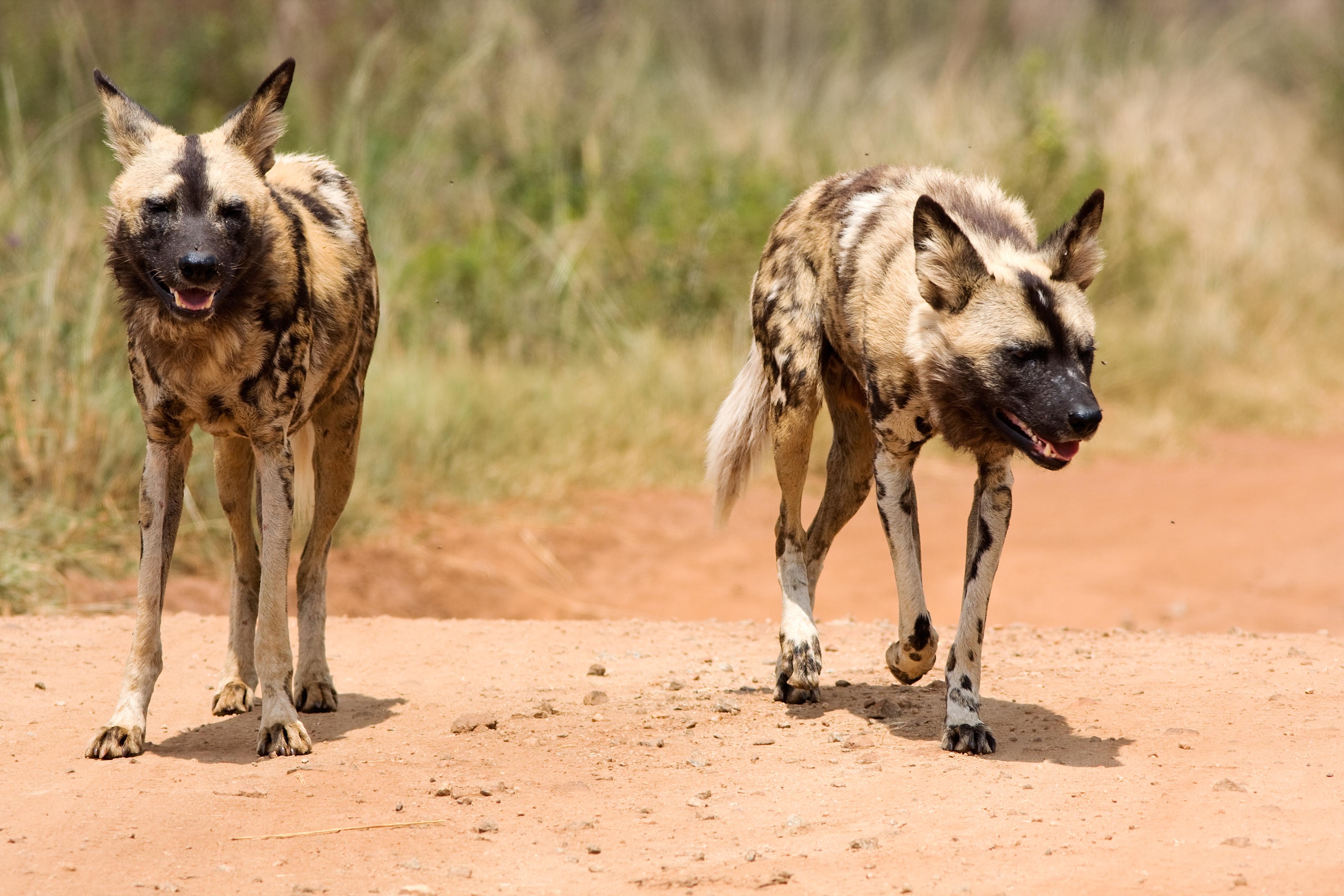 Massvaccinering av hundar är ett effektivt sätt att utrota rabies, men en svårighet med det är att många drabbade hundar är vildhundar.