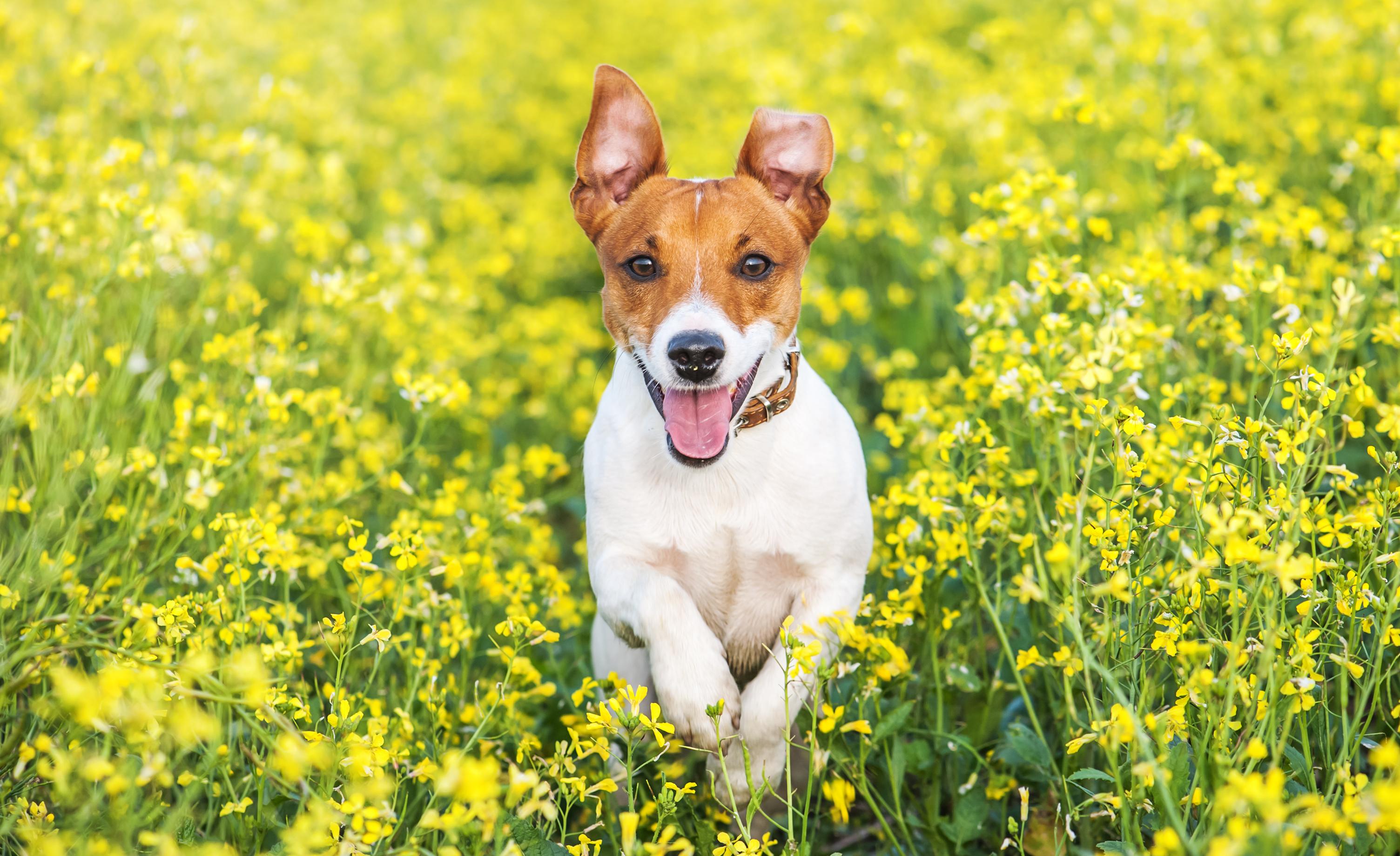 Oftast debuterar luftburna allergier när hunden är mellan ett och tre år gammal, säger veterinären Lotta Möller.