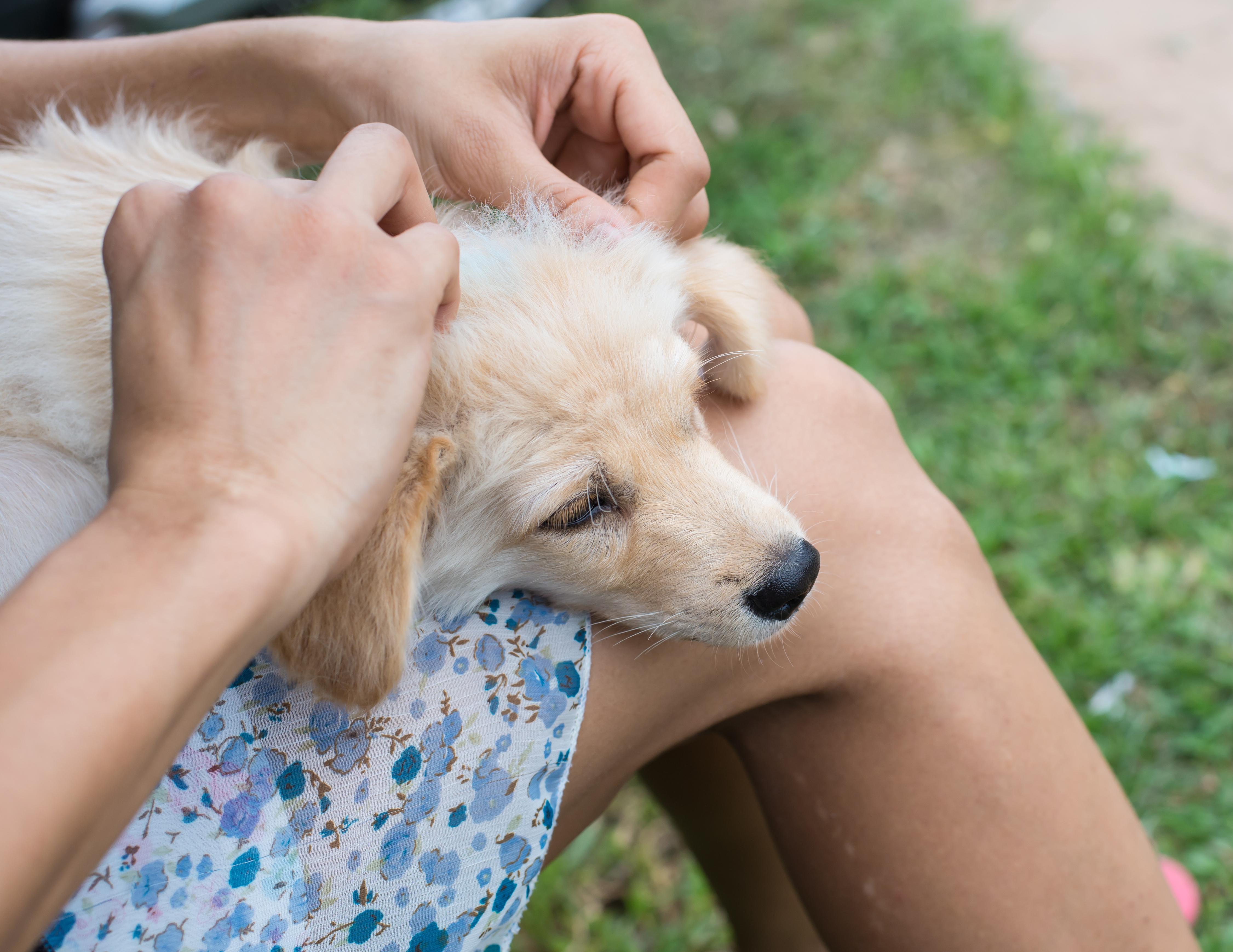 Borrelia är sällan allvarligt för hunden men för att minska antalet fästingbett är det bra om pälsen genomsöks efter varje promenad.