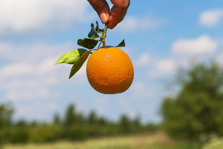 Apelsinen är känt för sitt C-vitamin men innehåller bortåt 200 andra ämnen.