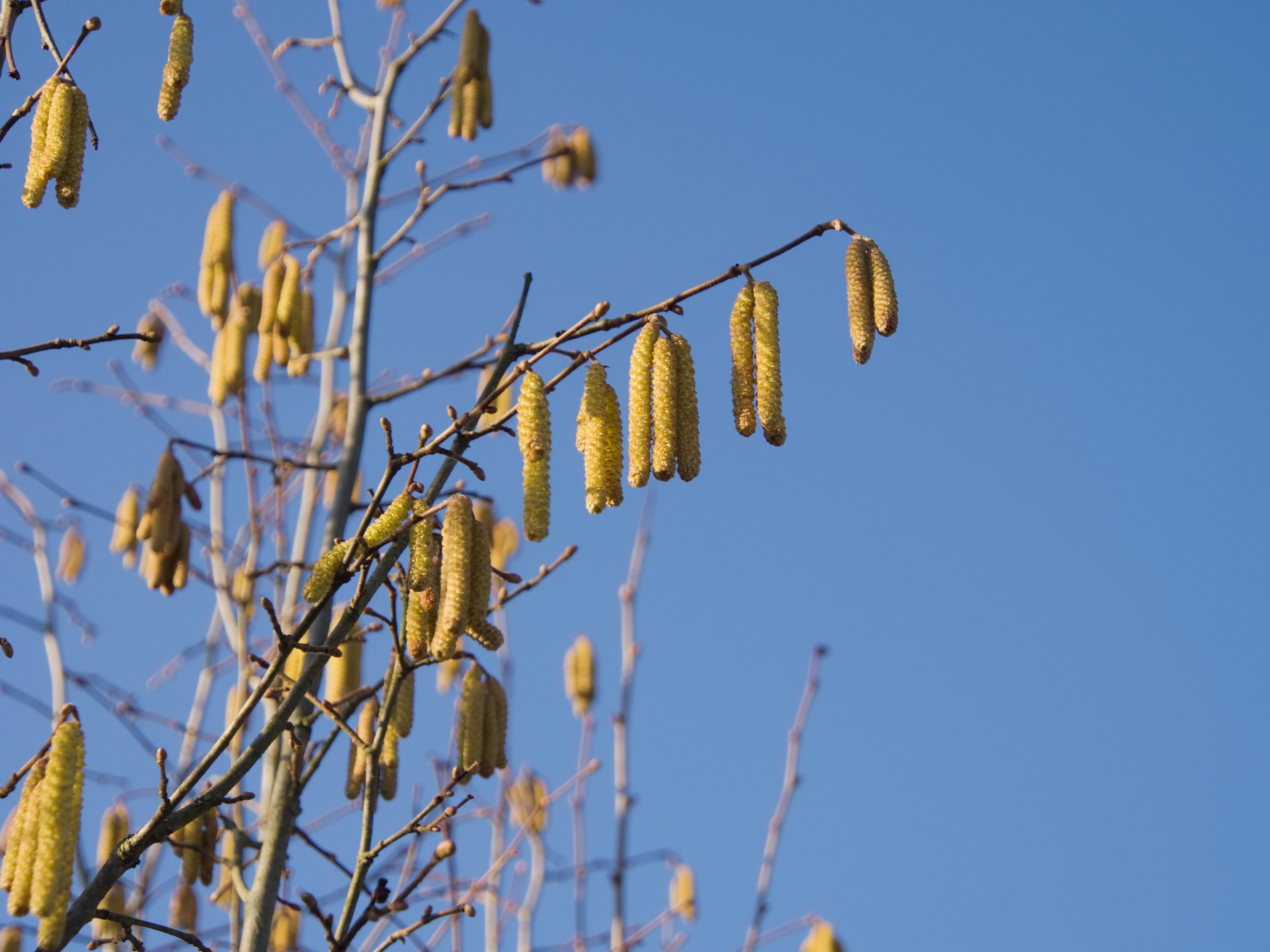 Med hasseln redan i blom riskerar årets pollensäsong att bli riktigt lång.