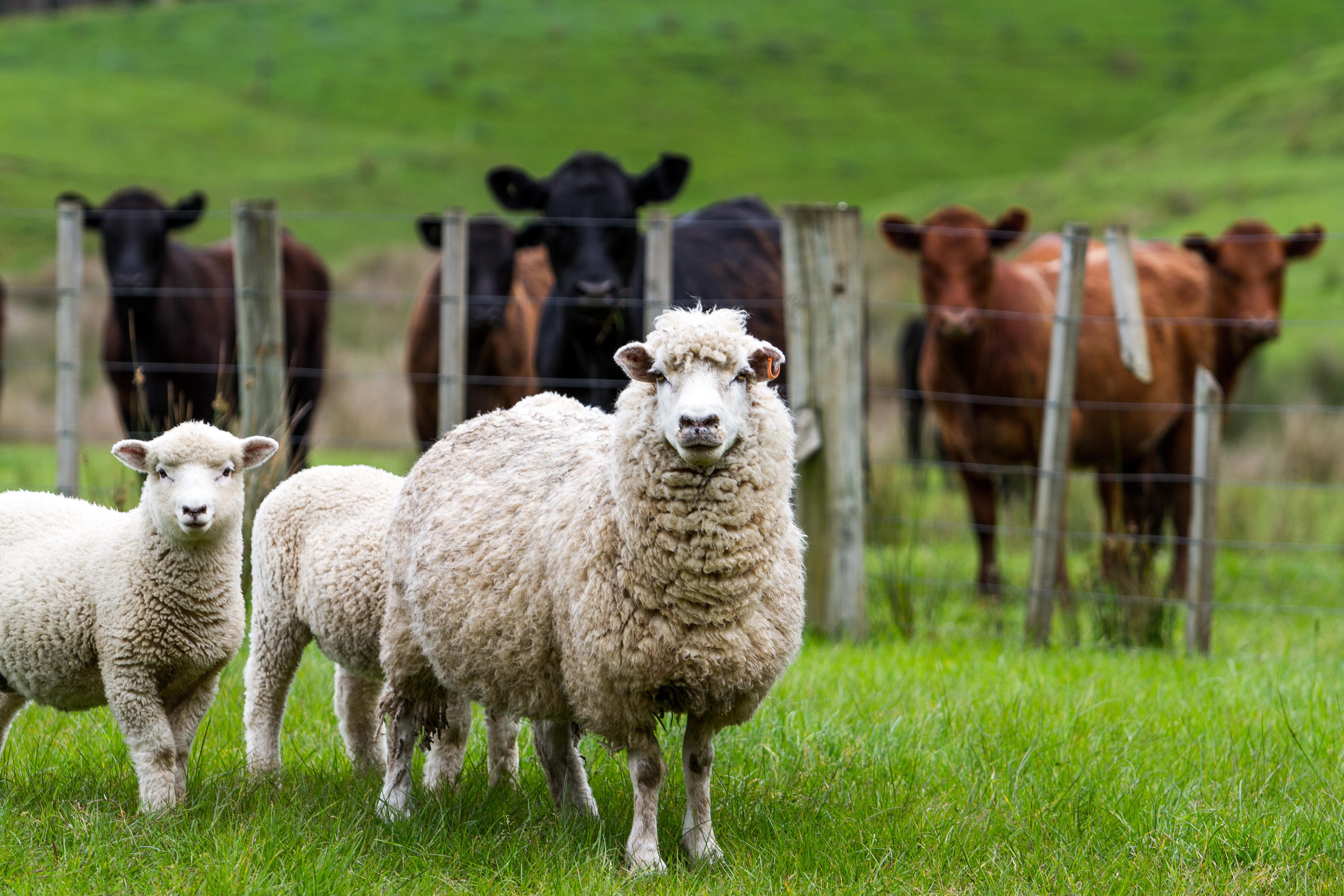 Babesios förekommer främst bland boskapsdjur, som kor och får, i mellersta delarna av landet