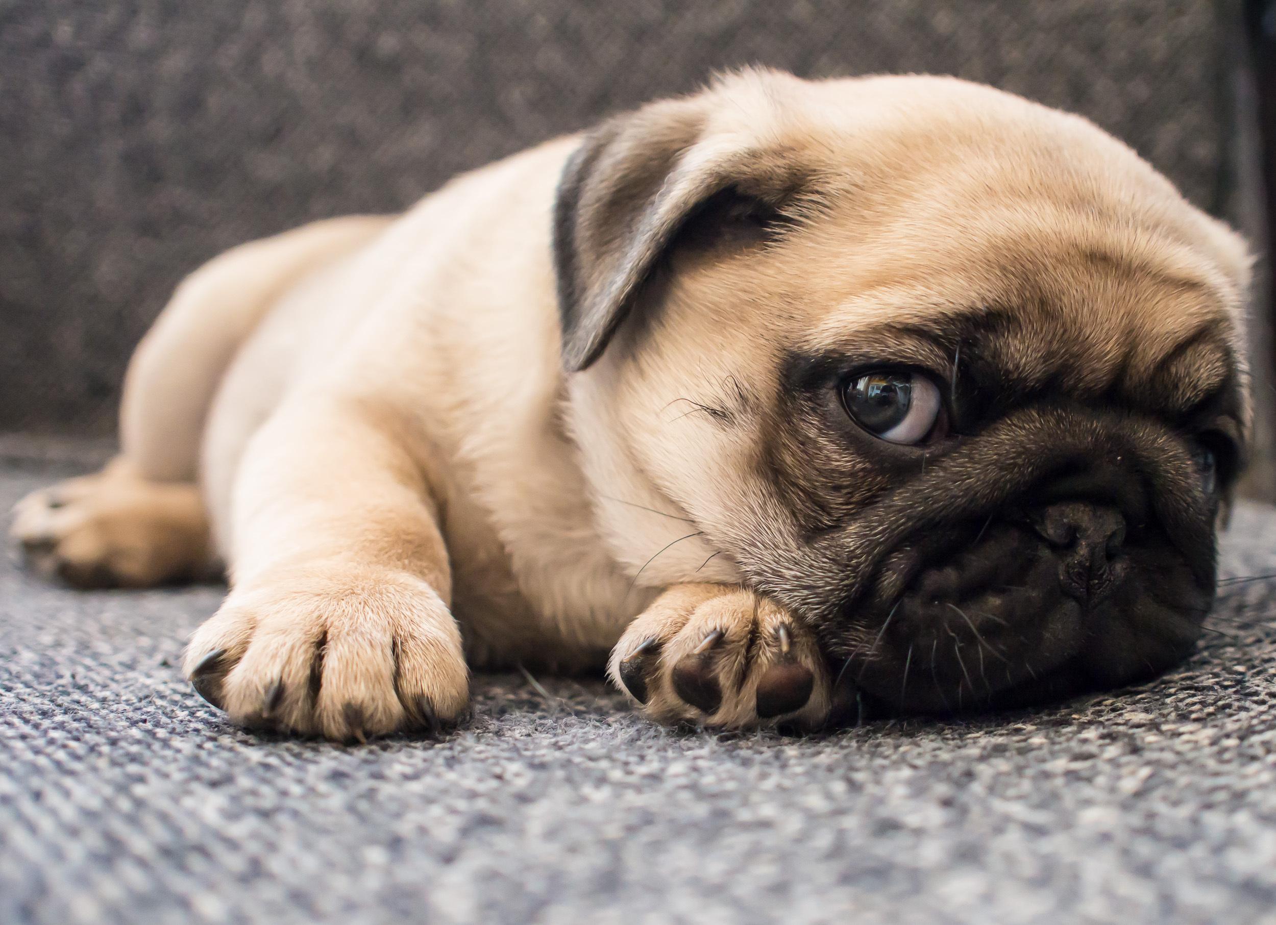 Majoriteten av trubbnosiga hundar drabbas av problem med andningen.