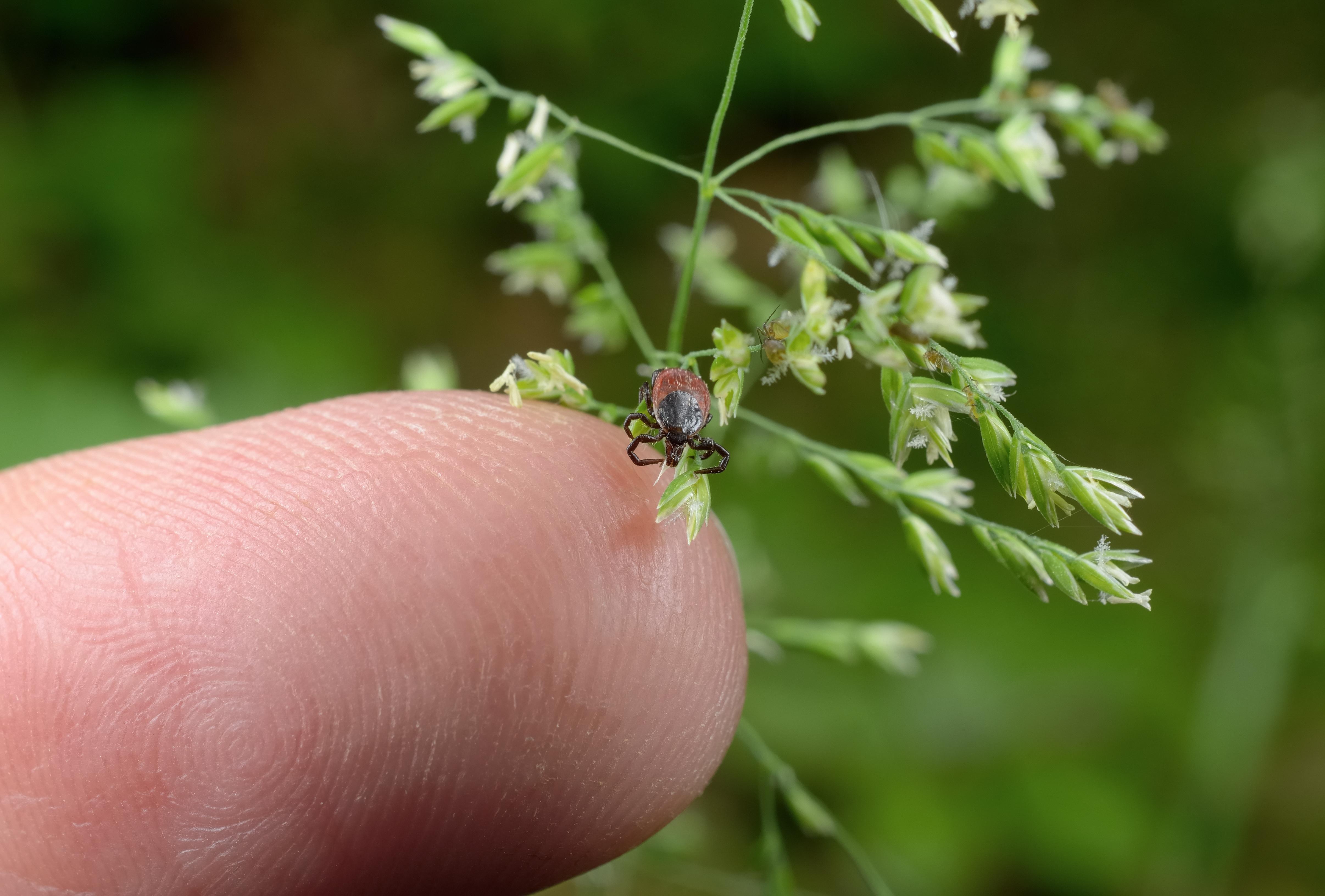 Den vanliga fästingen finns främst i halvhögt gräs i närheten av vatten. Den sitter gärna i grässtrånas topp eller i låga buskar.