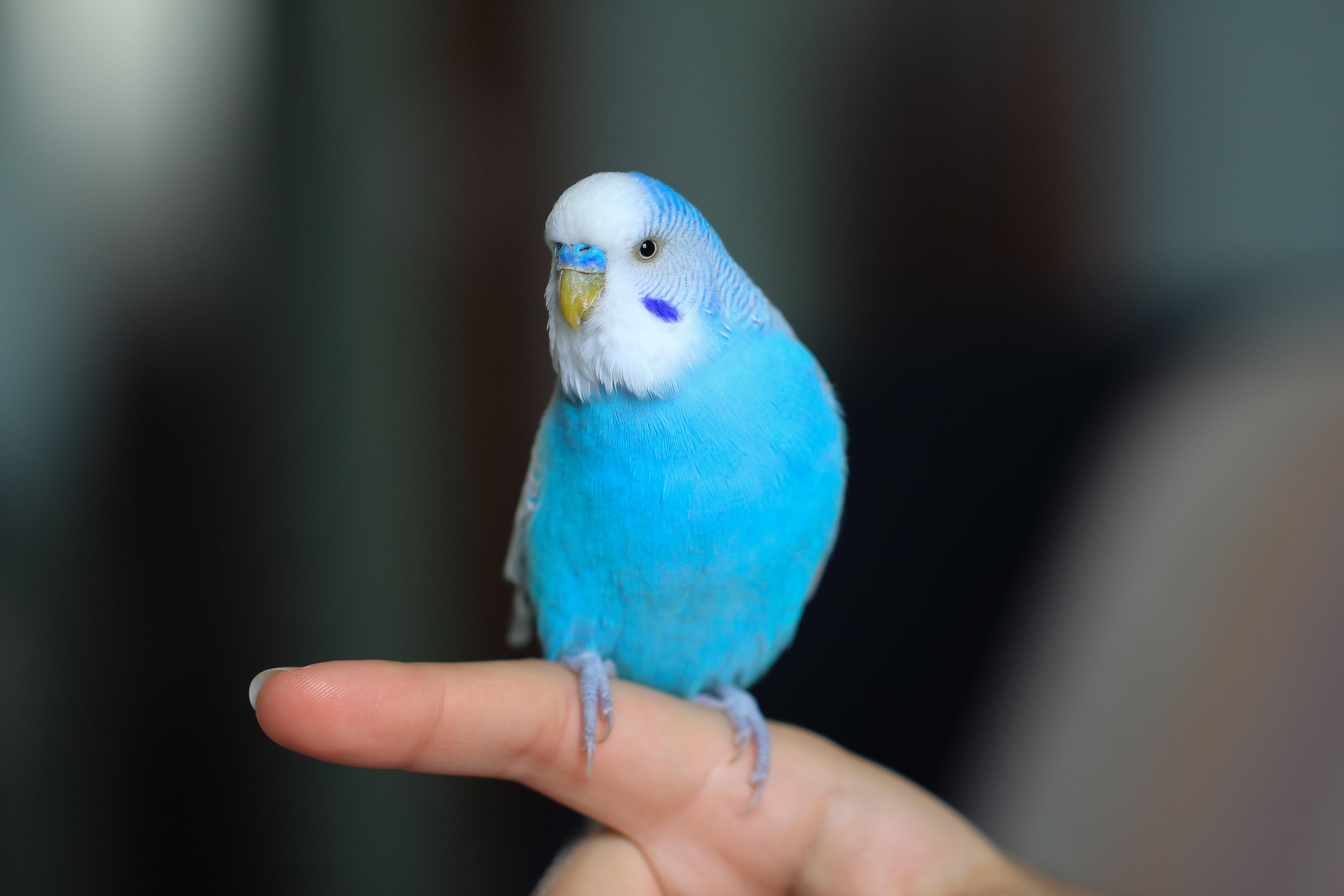 Papegojsjukan orsakas av en bakterie och sjukdomen är en zoonos, den kan alltså smitta mellan djur och människor.