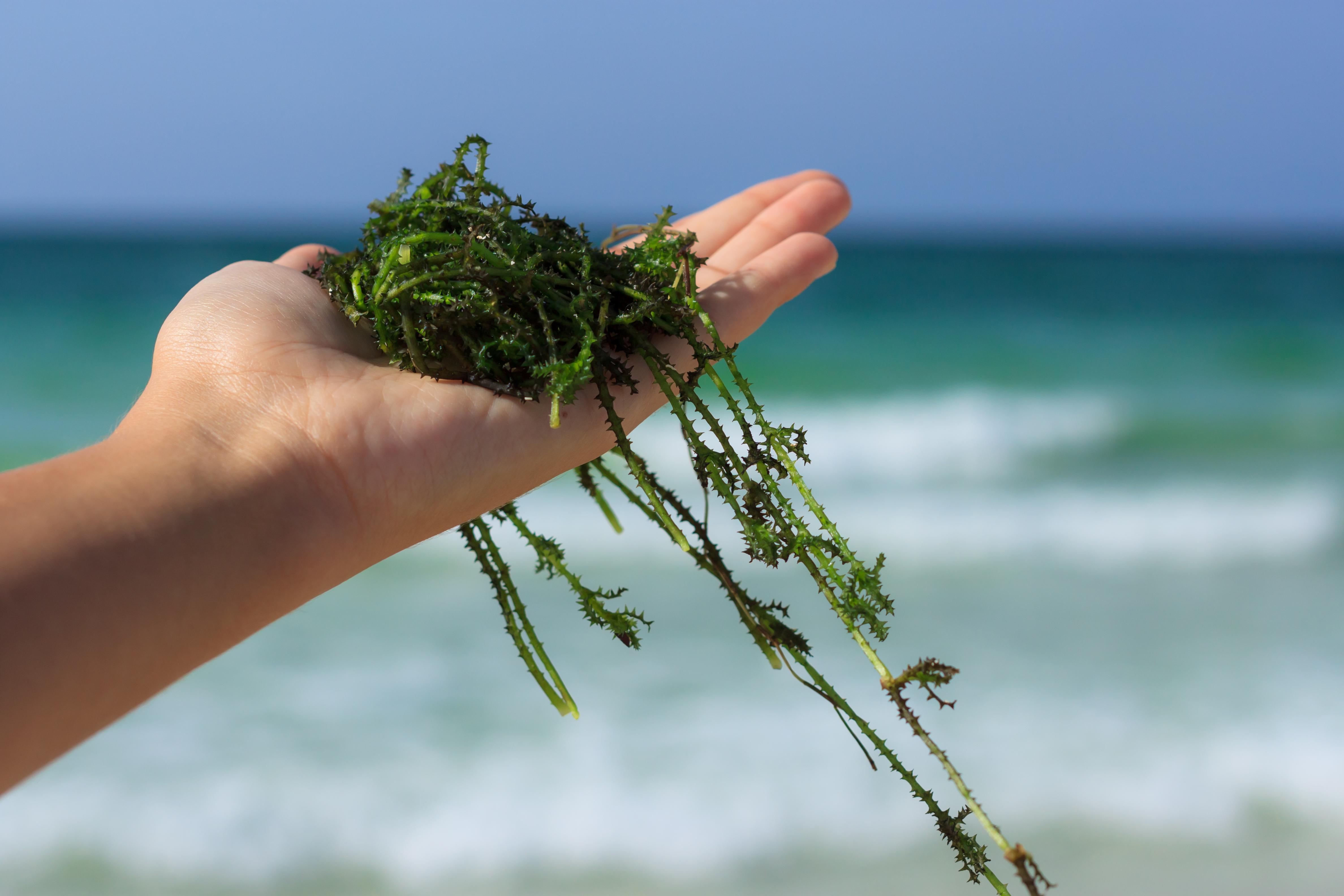 Totalt finns hundratals sorters tång i havet, men de flesta odlas inte kommersiellt.