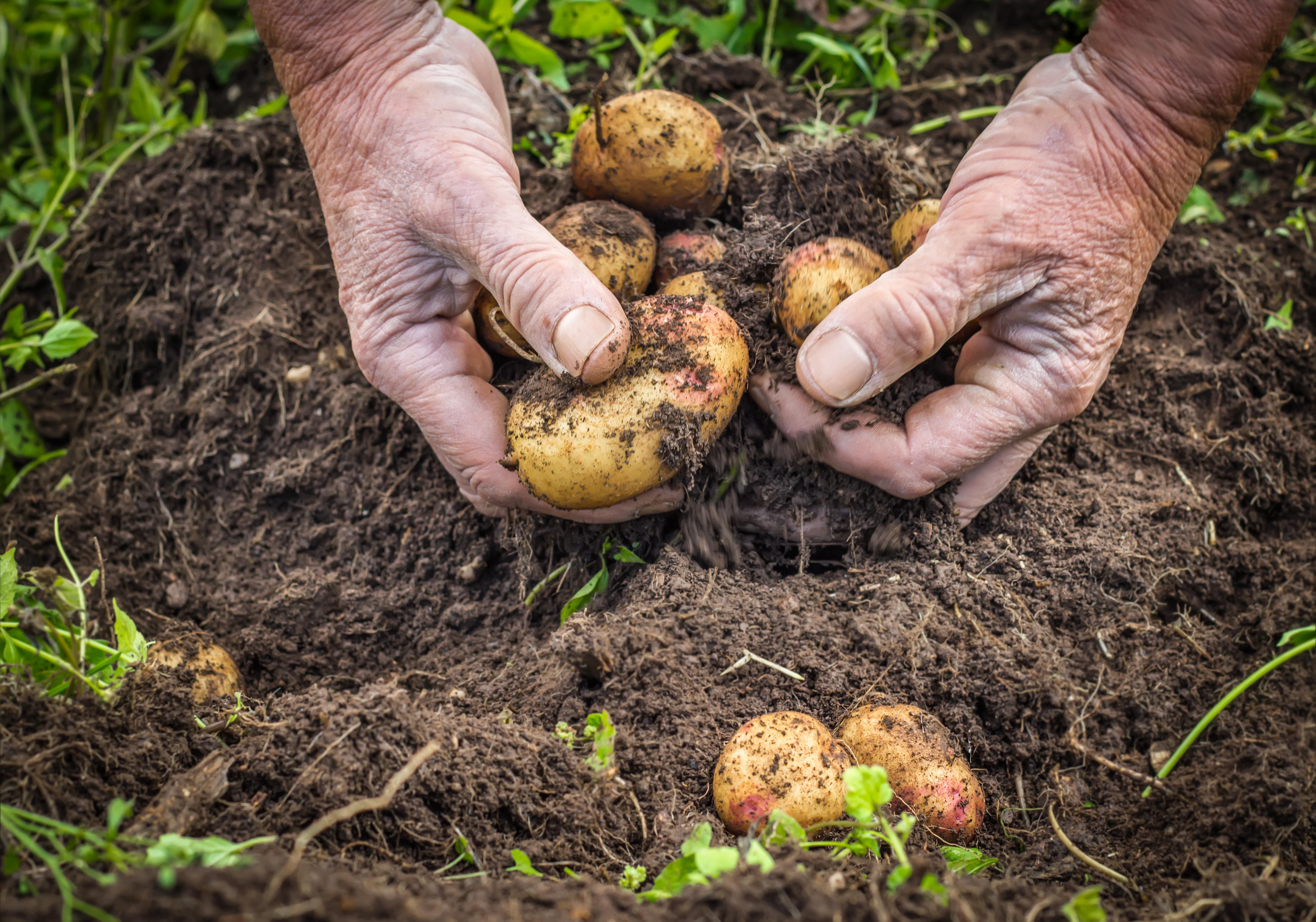 Bland annat potatis är rikt på kalium. Kokta grönsaker, rotfrukter och potatis innehåller mindre mängd kalium än råa.
