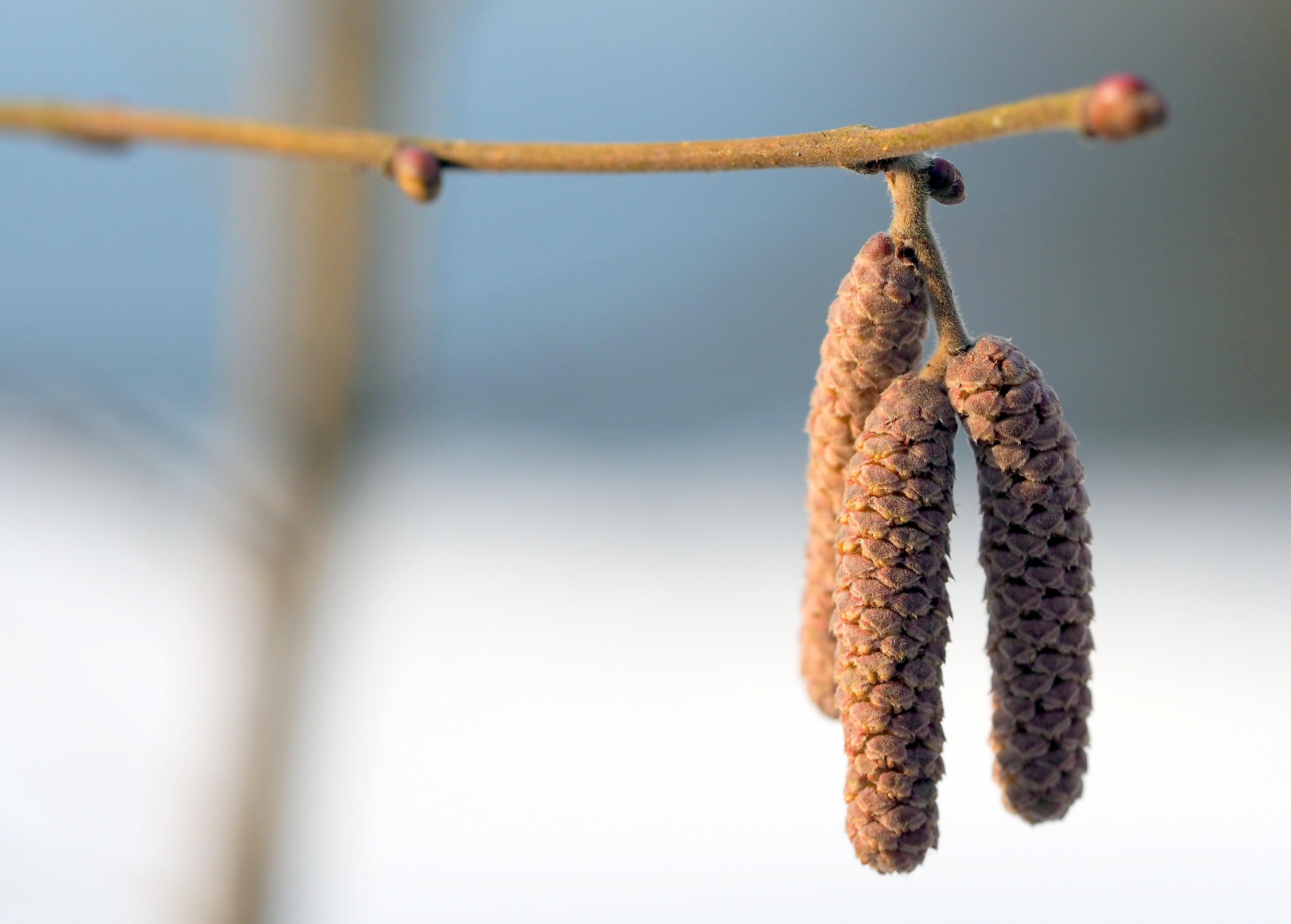 Under mars månad förväntas halterna av gråal (bilden) och hassel öka vilket många pollenallergiker kommer känna av.