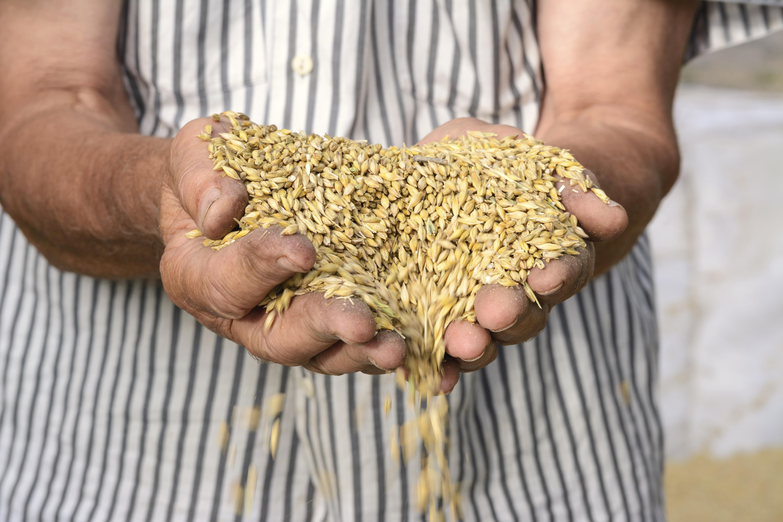 Mältat korn kan enligt forskarna ha positiva effekter på flera livsstilsrelaterade sjukdomar, energiupptag, inflammationer och tarmflorans sammansättning.