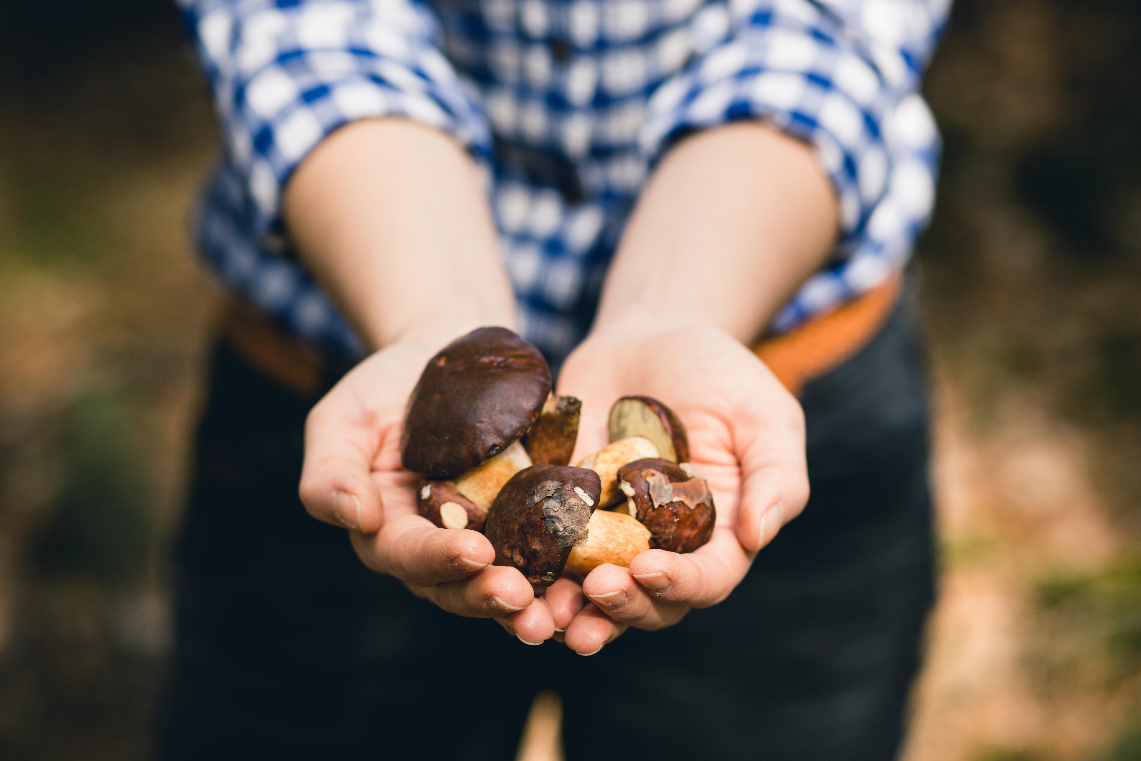 Det allra viktigaste rådet när man plockar och tillagar svamp är att veta vad man gör, inte minst med nya svampar, säger svampexperten Pelle Holmberg.