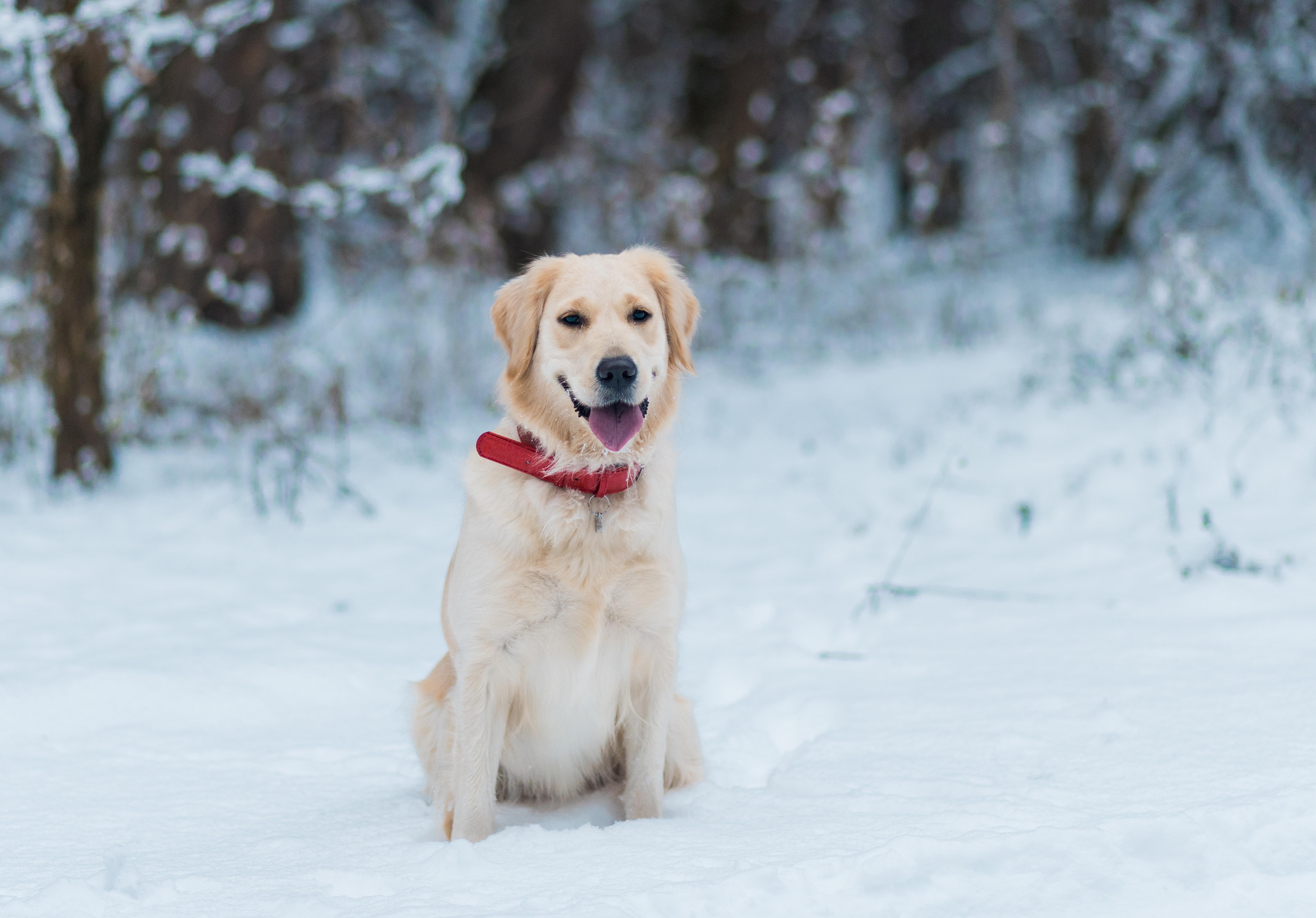 Ett bra täcke eller en jacka i rätt storlek är viktigt om du ser att hunden fryser, se bara till att det sitter bekvämt och inte besvärar hunden på promenaden.
