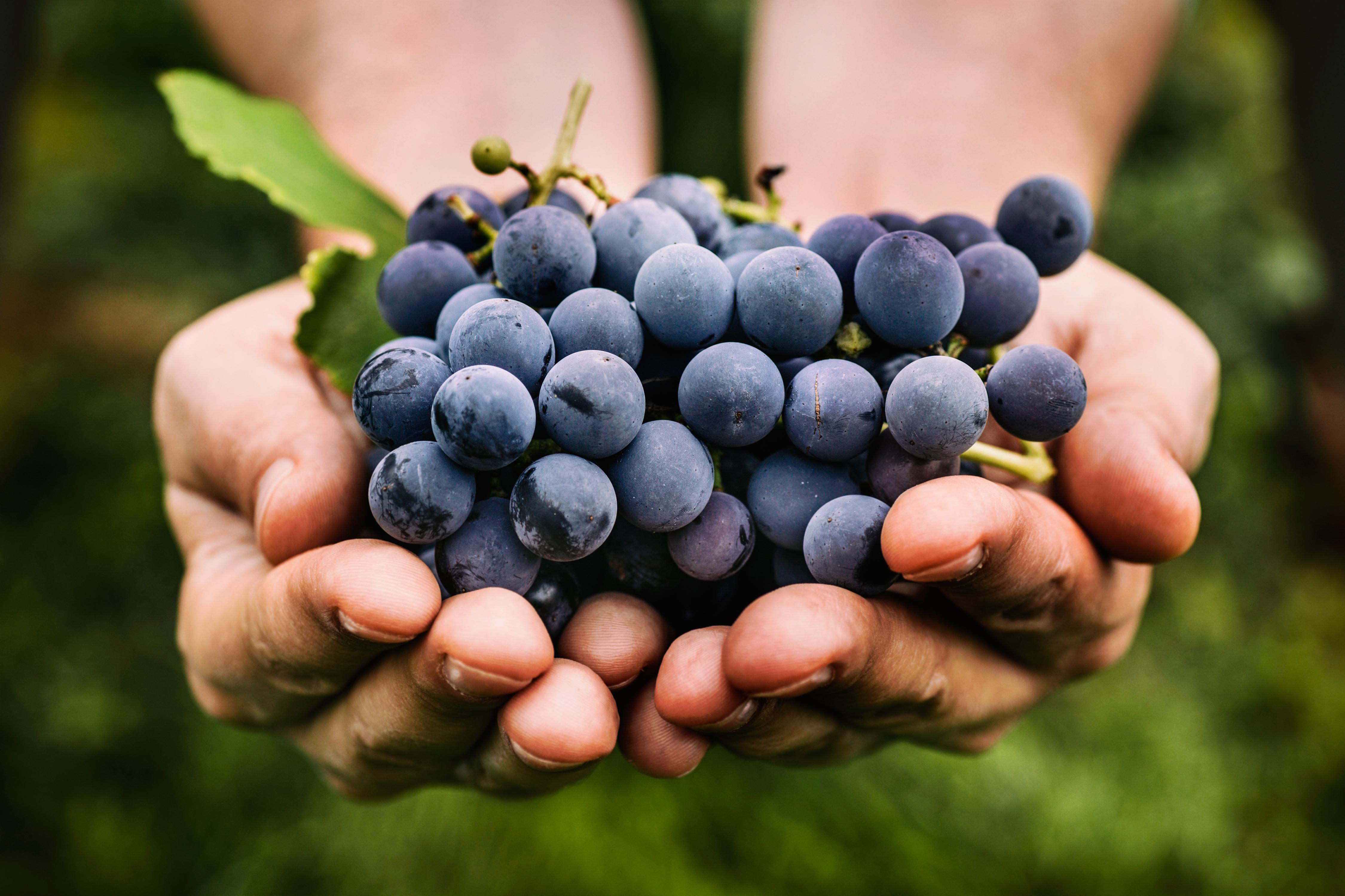 Resveratrol bildas i bland annat skalet på röda vindruvor och fungerar som ett försvar mot angrepp av bakterier och svampar.