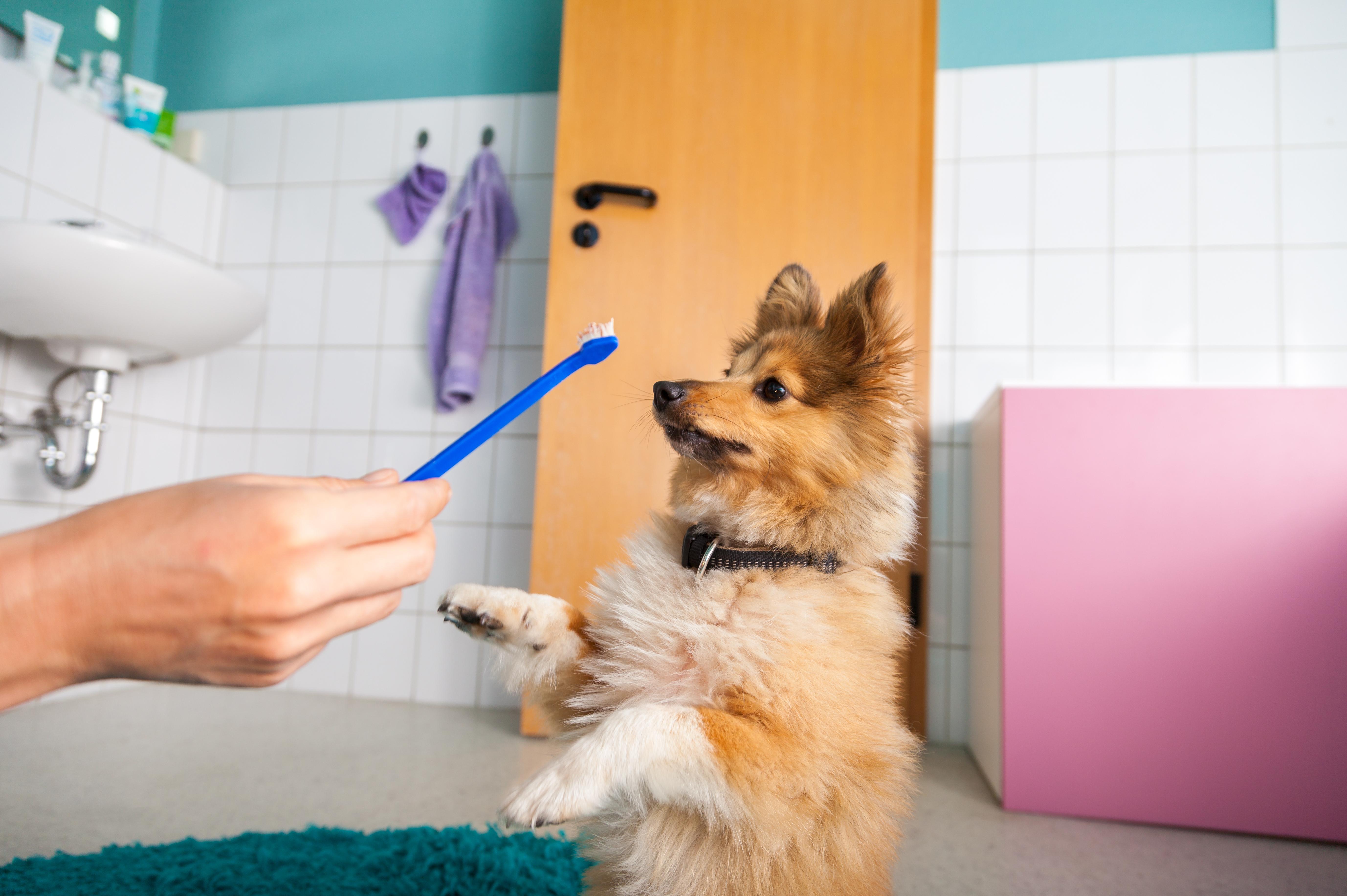 Hur hunden eller katten svarar på tandborstningen varierar från individ till individ.