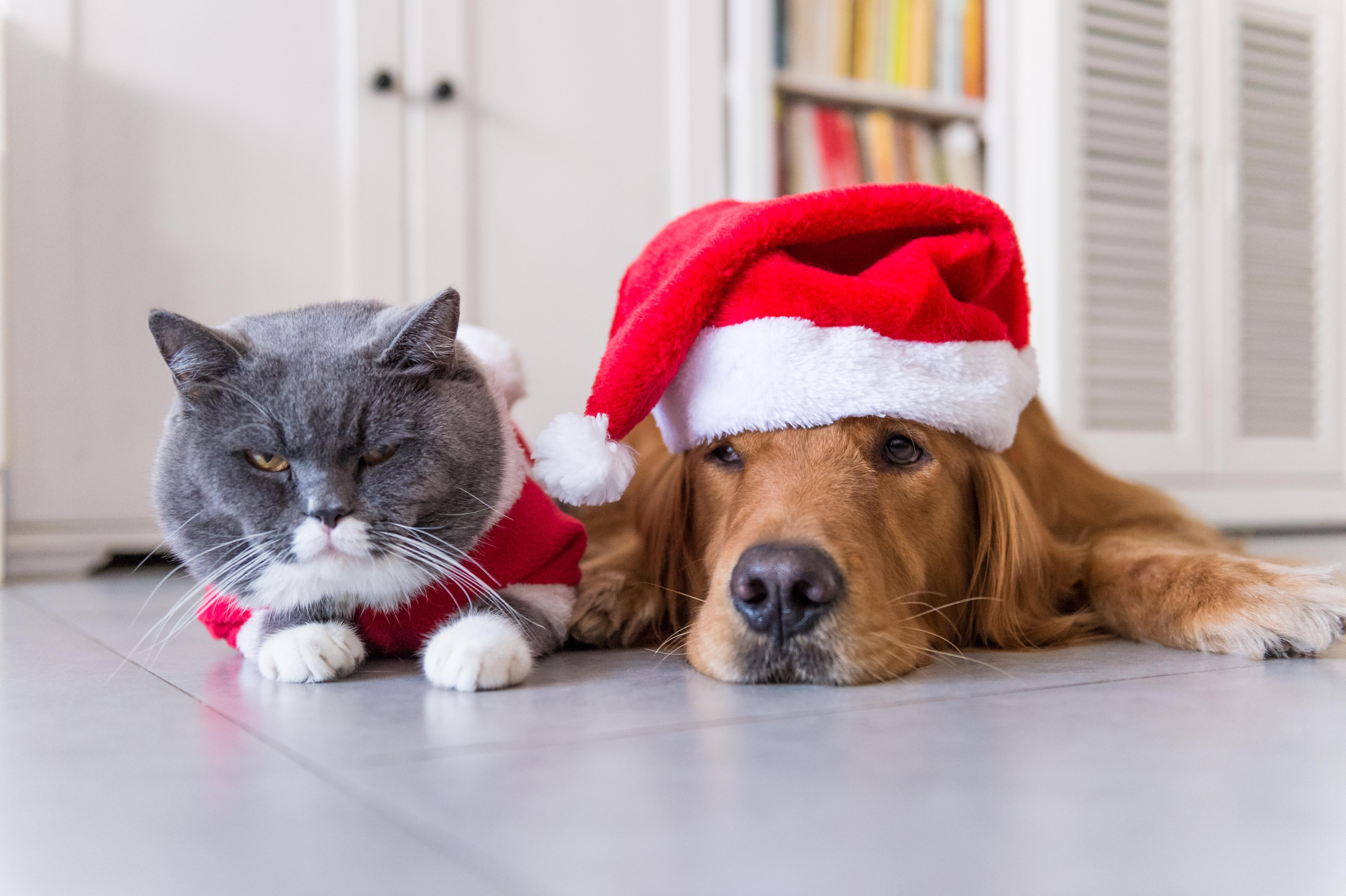 Mycket av det vi människor njuter av till jul kan innebära fara för din hund eller katt. Om olyckan är framme, kontakta alltid veterinär.