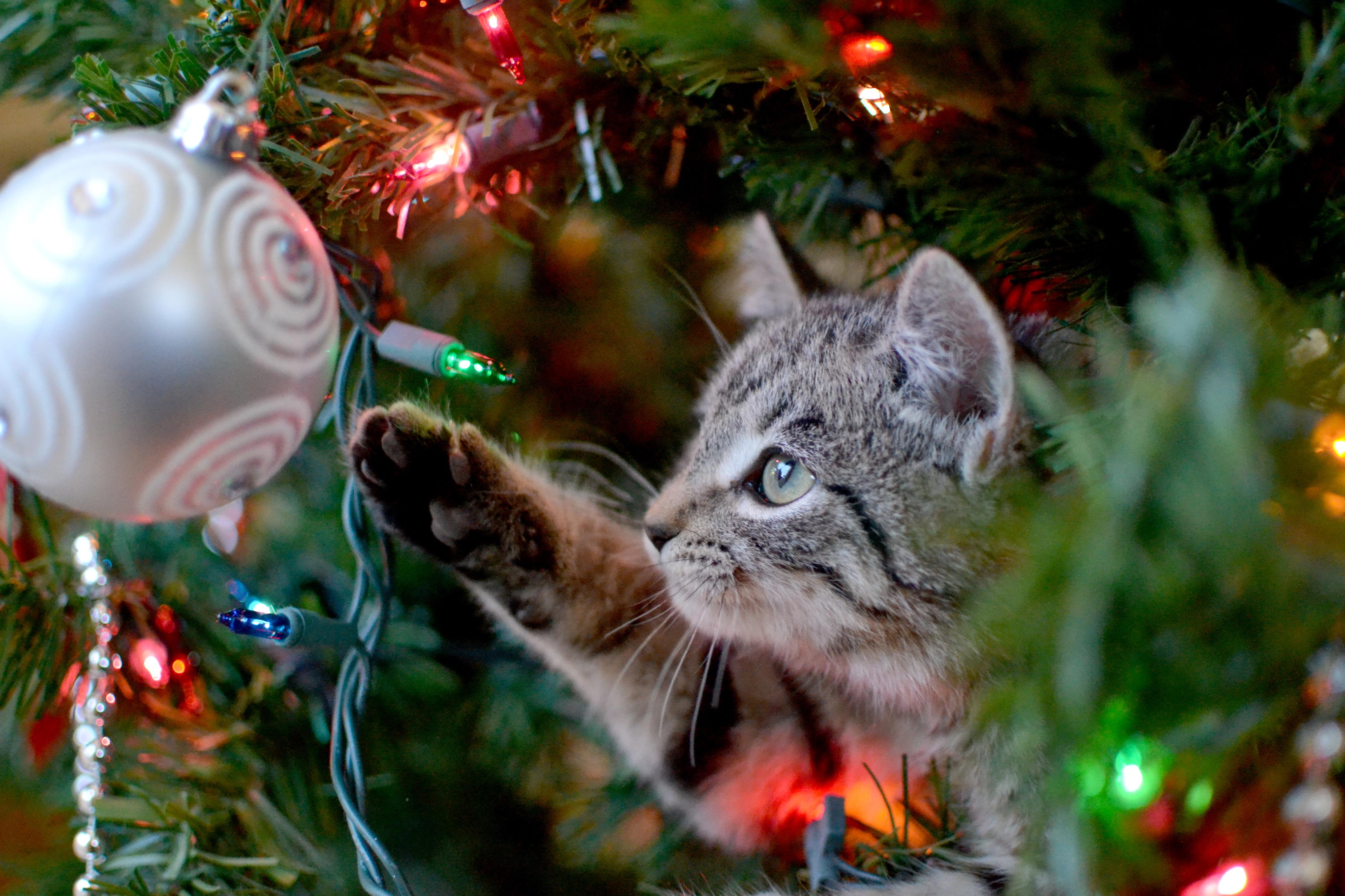 Genom att tänka till innan kan de flesta av julens faror undanröjas och katterna kan njuta lika mycket av julen som resten av familjen.
