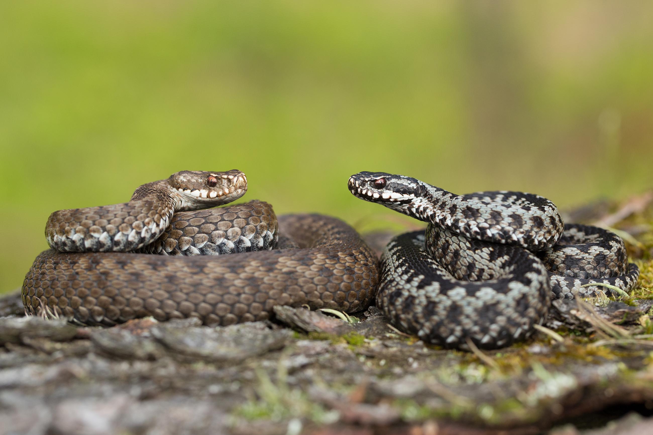 Är du rädd för ormar? Ormfobi är en av de vanligaste fobierna.