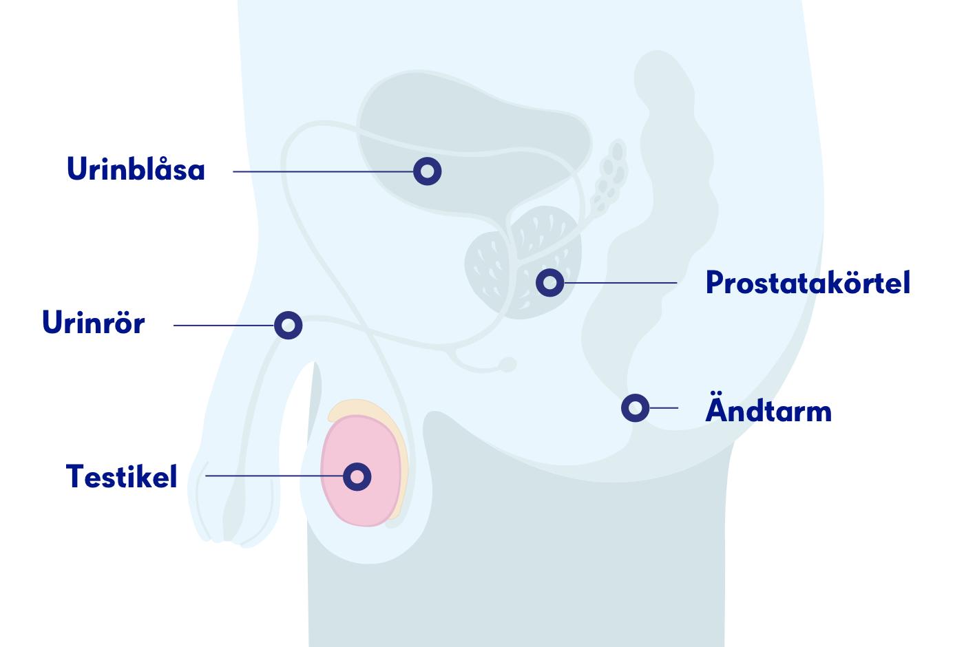 Vid tidig upptäckt har testikelcancer en god prognos. Foto: Cancerfonden